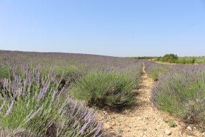 Weg durch Lavendelfeld